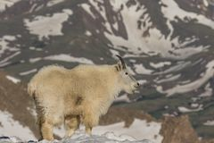 Mountain Goat in the High Country Royalty Free Stock Photography