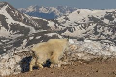 Mountain Goat in the High Mountains Royalty Free Stock Image