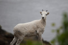Mountain goat on the hill along Seward highway. Mountain goat (Oreamnos americanus) on the hill along Seward highway,  Alaska Stock Photography