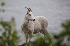 Mountain goat on the hill along Seward highway Stock Images
