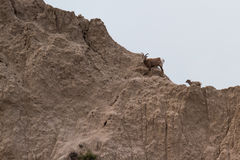 Mountain goat on a hillside Stock Image