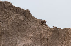 Mountain goat on a hillside Royalty Free Stock Image