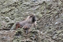 Mountain goat on the hillside stock photography