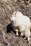 Mountain Goat on Hillside Stock Photography