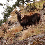Mountain Goat in the Himalayas. A mountain goat looks on in the Himalayas, Nepal Stock Photo