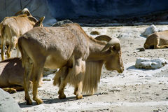Mountain goat with horns. Image of the mountain goat with horns Stock Photo