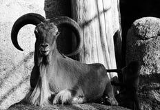 Mountain goat with horns animal black white stock photo