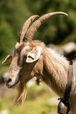 Mountain Goat with horns and cowbell - Italy. One mountain goat with horns and cowbell on a green background, Italian Alps stock photos