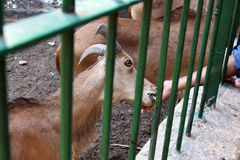 child feeding goat  Royalty Free Stock Photography
