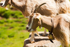 Mountain Goat with horns - Italy Royalty Free Stock Photos