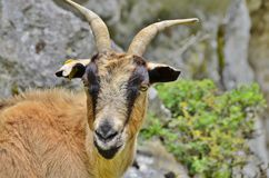 Mountain goat. 