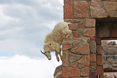 Mountain Goat jumping down Stock Photography