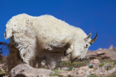 Mountain Goat Kicking Dirt Royalty Free Stock Photo