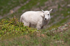 Mountain Goat Kid Stock Photography
