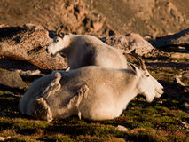 Mountain Goat with Kid Stock Photography