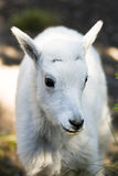 Mountain goat kid. A Mountain Goat kid near Logan Pass in Glacier National Park Stock Images