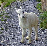 Mountain Goat Kid Royalty Free Stock Image