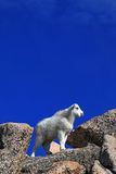 Mountain Goat Kid atop Mount Evans Royalty Free Stock Image