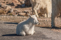 Mountain Goat  Kid. Cute mountain goat kid bedded Royalty Free Stock Photos