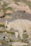 Mountain Goat Kid Stock Photos