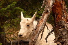 Mountain Goat Kid Hiding. A Mountain Goat Kid hiding behind a tree in Montana Stock Photography