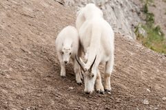 Mountain goat and kid jasper national park. Mountain goat and her kid looking for food, jasper national park canada Royalty Free Stock Image