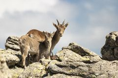 Mountain goat and kid looking at me royalty free stock photography