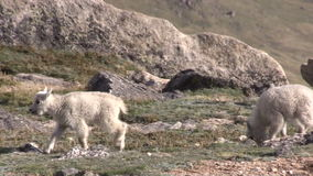 Mountain Goat Kid. A pair of mountain goat kids in the Colorado high country stock video footage