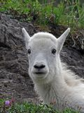 Mountain Goat Kid Portrait Royalty Free Stock Image