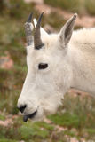Mountain Goat Kid Portrait Stock Image