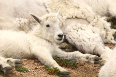 Mountain Goat Kid Resting Against Mother. A Mountain Goat Kid resting against its mother on Mount Evans, Colorado Stock Image