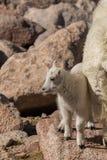 Mountain Goat kid in rocks Stock Photo