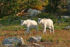 Mountain Goat Kids. Mountain Goat (oreamnos americanus), Glacier National Park, Montana, USA Royalty Free Stock Images