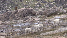 Mountain Goat Kids in the Alpine. A group of mountain goat kids playing in the high country stock video