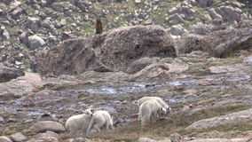 Mountain Goat Kids. A group of mountain goat kids playing in the high country stock video