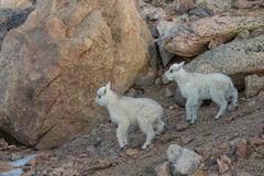 Mountain Goat Kids Royalty Free Stock Photos