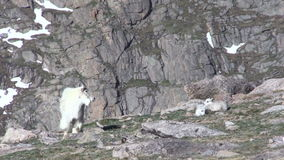 Mountain Goat And Kids. A mountain goat nanny pair of cute kids in the Colorado mountains stock video