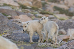 Mountain Goat Kids Stock Image