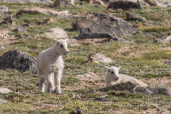 Mountain Goat Kids Royalty Free Stock Photo