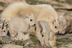 Mountain Goat Kids Stock Photography
