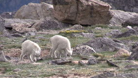 Mountain Goat Kids. A pair of cute mountain goat kids in the rugged Colorado high country stock footage