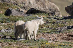 Mountain Goat Kids Royalty Free Stock Images