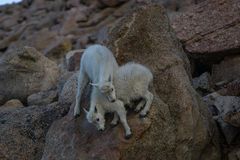 Mountain Goat Kids Playing Stock Photography