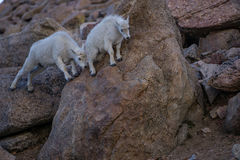 Mountain Goat Kids Playing. Two young Mountain Goats play on a Boulder, in the Colorado Mountains Royalty Free Stock Photos