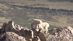 Mountain Goat Kids in Rocks. A pair of cute mountain goat kids in the rugged Colorado high country stock video footage