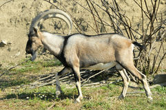 Free Mountain Goat Kri-Kri Royalty Free Stock Image - 22062216