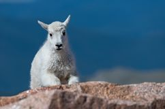 A Mountain Goat Lamb Approaches. An Adorable Mountain Goat Lamb kid in the Rocks in the Colorado Rocky Mountains royalty free stock photo