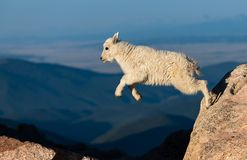 A Mountain Goat Lamb kid with a Big Leap Across Two Rocks in the Mountains of Colorado royalty free stock image