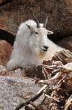 Mountain goat laying on rocky ledge Stock Images