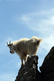 Mountain Goat looking back over Harney Peak Spire Royalty Free Stock Photos